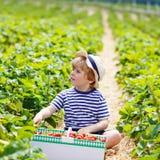 Little kid boy picking strawberries on farm, outdoors. Funny little kid boy picking and eating strawberries on organic pick a berry farm in summer, on warm Stock Photo