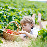 Little kid boy picking strawberries on farm, outdoors. Funny preschool boy picking and eating strawberries on organic bio berry farm in summer, on warm sunny day Royalty Free Stock Photography
