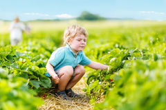 Little kid boy picking strawberries on farm, outdoors. Funny little toddler kid boy picking and eating strawberries on organic pick a berry farm in summer, on Stock Image