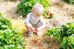 Little kid boy picking strawberries on farm, outdoors. Funny little toddler kid boy picking and eating strawberries on organic pick a berry farm in summer, on Royalty Free Stock Image