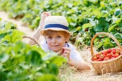 Little kid boy picking strawberries on farm, outdoors. Happy adorable little kid boy picking and eating strawberries on organic berry farm in summer, on warm Stock Photos