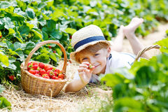 Little kid boy picking strawberries on farm, outdoors. Stock Photos