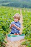 Little kid boy picking strawberries on farm, outdoors. Happy little kid boy picking and eating strawberries on organic bio berry farm in summer, child on warm Royalty Free Stock Image