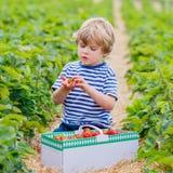 Little kid boy picking strawberries on farm, outdoors. Happy little kid boy picking and eating strawberries on organic bio berry farm in summer, child on warm Royalty Free Stock Photography