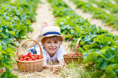 Little kid boy picking strawberries on farm, outdoors. Happy funny little kid boy picking and eating strawberries on organic bio berry farm in summer, on warm Royalty Free Stock Photo