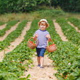 Little kid boy picking strawberries on farm, outdoors. Happy little kid boy picking  strawberries and laughing on organic farm in summer, on warm sunny day Royalty Free Stock Photography
