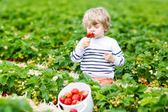 Little kid boy picking strawberries on farm, outdoors. Happy little toddler kid boy picking and eating strawberries on organic pick a berry farm in summer, on Stock Image