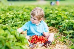 Little kid boy picking strawberries on farm, outdoors. Lovely little toddler kid boy picking and eating strawberries on organic pick a berry farm in summer, on Royalty Free Stock Images