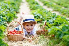 Little kid boy picking strawberries on organic bio farm, outdoors. Happy adorable little kid boy picking and eating strawberries on organic berry bio farm in Royalty Free Stock Photo