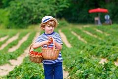 Little kid boy picking strawberries on organic bio farm, outdoors. Happy adorable little kid boy picking and eating strawberries on organic berry bio farm in Royalty Free Stock Images