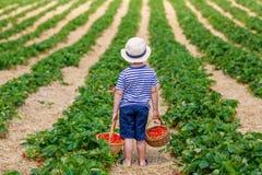Little kid boy picking strawberries on organic bio farm, outdoors. Happy adorable little kid boy picking and eating strawberries on organic berry bio farm in Stock Image