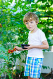 Little kid boy picking tomatoes in greenhouse Stock Photos
