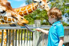 Little kid boy watching and feeding giraffe in zoo. Happy child having fun with animals safari park on warm summer day royalty free stock photography