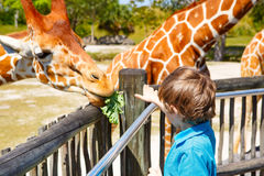 Little kid boy watching and feeding giraffe in zoo Stock Images