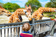 Little kid boy watching and feeding giraffe in zoo Stock Photography