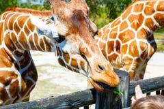 Little kid boy watching and feeding giraffe in zoo. Happy child having fun with animals safari park on warm summer day royalty free stock photos