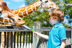 Little kid boy watching and feeding giraffe in zoo Royalty Free Stock Photography
