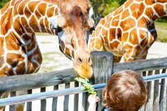 Little kid boy watching and feeding giraffe in zoo. Happy child having fun with animals safari park on warm summer day royalty free stock images