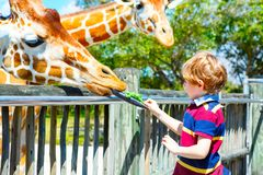 Little kid boy watching and feeding giraffe in zoo. Happy child having fun with animals safari park on warm summer day