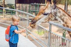 Little kid boy watching and feeding giraffe in zoo. Happy kid ha. Ving fun with animals safari park on warm summer day stock photo