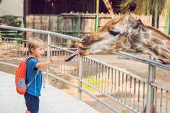 Little kid boy watching and feeding giraffe in zoo. Happy kid ha stock photo