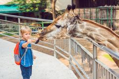 Little kid boy watching and feeding giraffe in zoo. Happy kid ha Royalty Free Stock Image