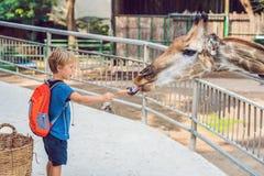 Little kid boy watching and feeding giraffe in zoo. Happy kid having fun with animals safari park on warm summer day.  stock image