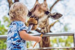 Little kid boy watching and feeding giraffe in zoo. Happy kid having fun with animals safari park on warm summer day.  stock images