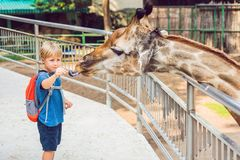 Little kid boy watching and feeding giraffe in zoo. Happy kid having fun with animals safari park on warm summer day.  stock photo