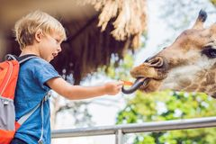 Little kid boy watching and feeding giraffe in zoo. Happy kid having fun with animals safari park on warm summer day stock photos