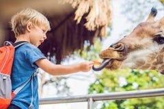 Little kid boy watching and feeding giraffe in zoo. Happy kid having fun with animals safari park on warm summer day.  stock photos