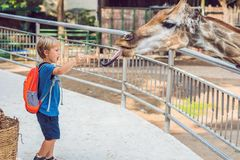 Little kid boy watching and feeding giraffe in zoo. Happy kid having fun with animals safari park on warm summer day.  royalty free stock images