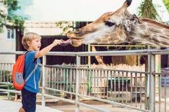 Little kid boy watching and feeding giraffe in zoo. Happy kid having fun with animals safari park on warm summer day.  royalty free stock photos