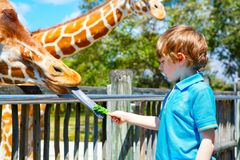 Little kid boy watching and feeding giraffe in zoo. Happy child having fun with animals safari park on warm summer day stock images