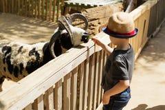 Little kid feeding big ram on an animal farm Royalty Free Stock Images