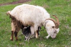 Little kid goat sucking milk from goat`s mom Stock Photo