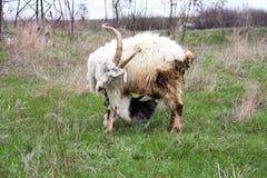 Little kid goat sucking milk from goat`s mom Stock Image
