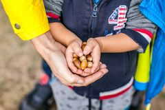 Little kid is holding acorns at his small hands with help of mother stock images