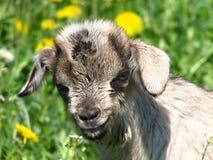 Little goatling stock photo