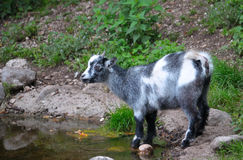 Little kid on the Water. Goatling drinking water from a pond Stock Image