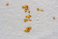 Little kids yellow garden spider. Move around the web Royalty Free Stock Photo