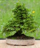 Little kinesisk alm som bonsaitree Fotografering för Bildbyråer