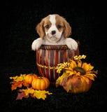 Little King Cavalier Puppy imagen de archivo