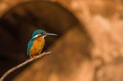 Little Kingfisher Stock Image