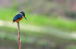 Little Kingfisher Royalty Free Stock Image
