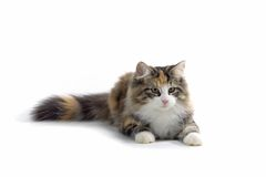Little kitten. Little longhair kitten on the ground Royalty Free Stock Photos