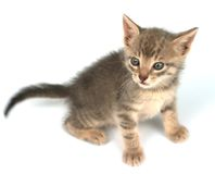 Little Kitten. Kitten on a white background Royalty Free Stock Image