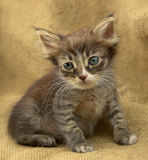 Little kitten Royalty Free Stock Photos