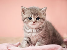 Little kitten. On pink background Royalty Free Stock Images