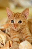 Little Kitten. Red tigered European Shorthair Royalty Free Stock Photos